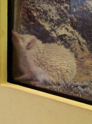 Hedgehogs in seemingly awkward sleeping position